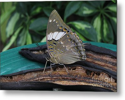Blue-spotted Charaxes Butterfly Metal Print