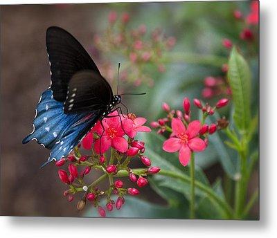 Blue Swallowtail Butterfly  Metal Print by Saija  Lehtonen