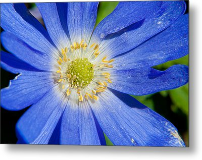 Blue Swan River Daisy Metal Print