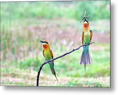 Blue-tailed Bee-eater Courtship Gift Metal Print by K Jayaram