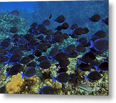 Blue Tangs Metal Print by Carey Chen