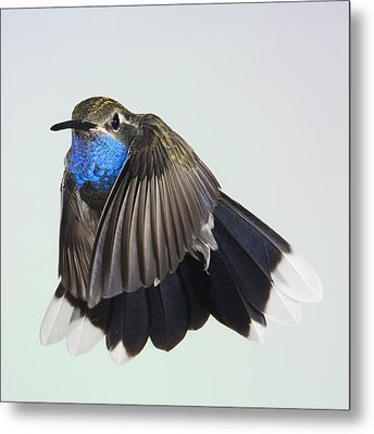 Blue Throated Hummingbird Metal Print
