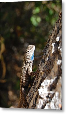 Metal Print featuring the photograph Blue Throated Lizard 4 by Debra Thompson