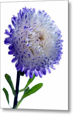 Blue Tipped Aster Metal Print by Terence Davis