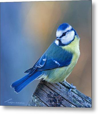 Blue Tit Looking Behind Metal Print by Torbjorn Swenelius