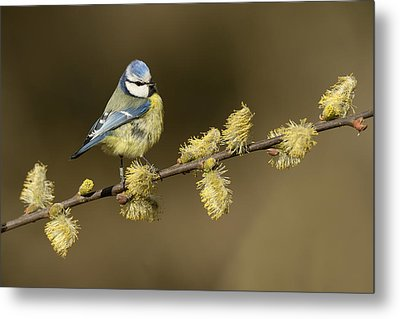 Blue Tit Netherlands Metal Print by Marianne Brouwer