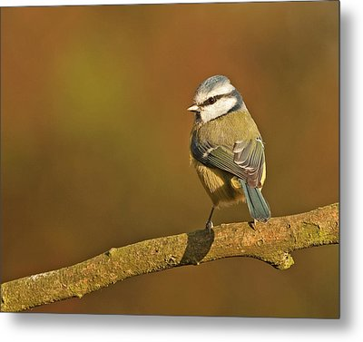 Metal Print featuring the photograph Blue Tit by Paul Scoullar