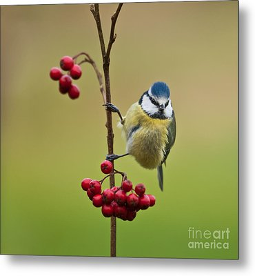 Blue Tit With Hawthorn Berries Metal Print by Liz Leyden