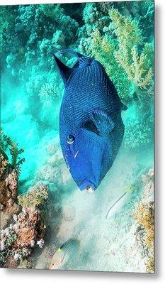 Blue Triggerfish Feeding Metal Print by Georgette Douwma