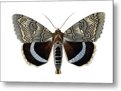 Blue Underwing Moth Metal Print by Collection Abecasis