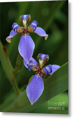 Blue Walking Iris Metal Print by Carol Groenen