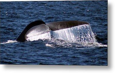 Blue Whale Flukes 2 Metal Print