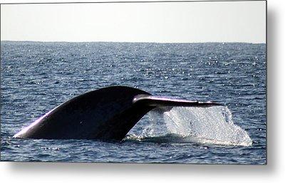 Blue Whale Flukes Metal Print