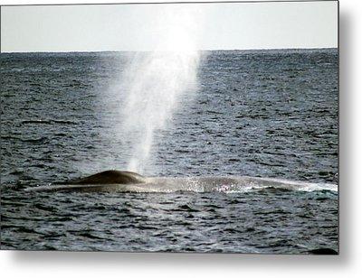 Blue Whale Spout Metal Print