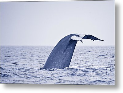 Metal Print featuring the photograph Blue Whale Tail Fluke With Remoras by Liz Leyden