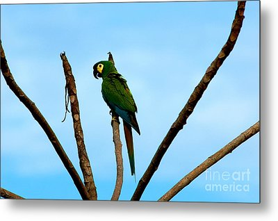 Blue-winged Macaw, Brazil Metal Print by Gregory G. Dimijian, M.D.