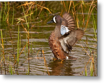 Metal Print featuring the photograph Blue-winged Teal by Ram Vasudev