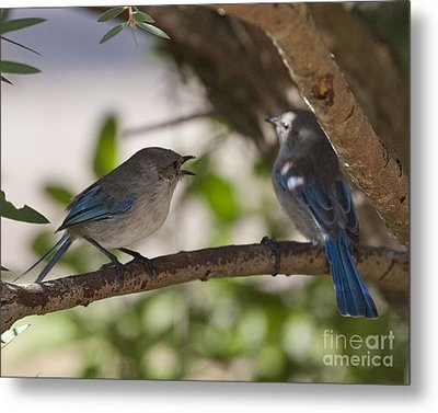 Blue Wrens 1 Metal Print by Serene Maisey