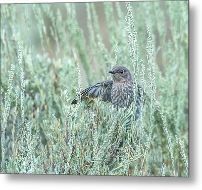 Bluebird In Sage Metal Print by Yeates Photography