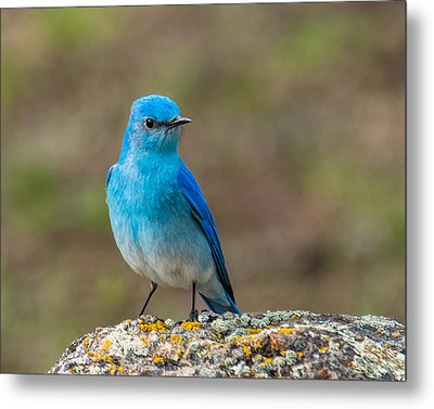Bluebird In Yellowstone Spring Metal Print by Yeates Photography
