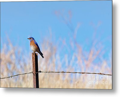Bluebird On A Post Metal Print by Mike  Dawson