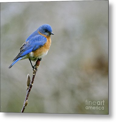 Bluebird On My Tree Metal Print