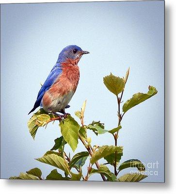 Bluebird On Top Metal Print by Kerri Farley