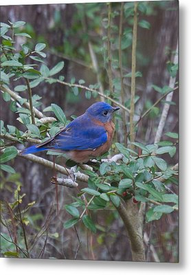 Metal Print featuring the photograph Bluebird by Patricia Schaefer