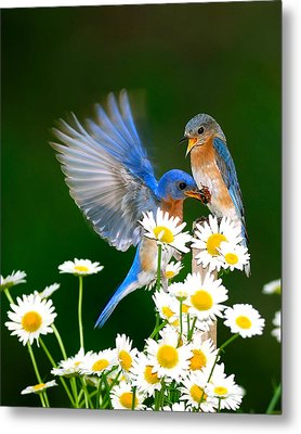 Bluebirds And Daisies Metal Print