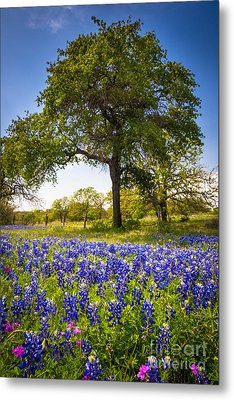 Bluebonnet Meadow Metal Print