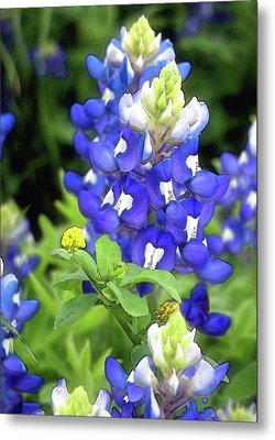 Bluebonnets Blooming Metal Print by Stephen Anderson