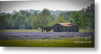 Bluebonnets By The Barn Metal Print