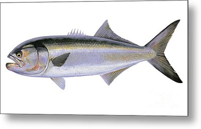 Bluefish Metal Print by Carey Chen