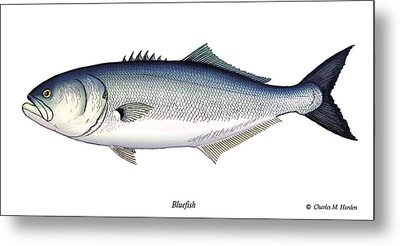 Bluefish Metal Print by Charles Harden