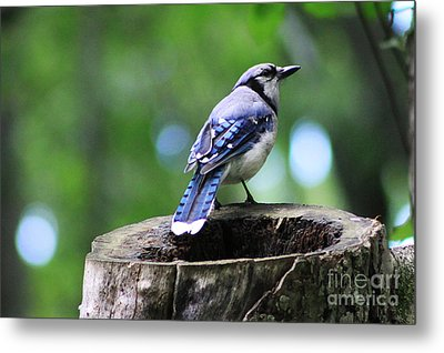 Metal Print featuring the photograph Bluejay by Alyce Taylor