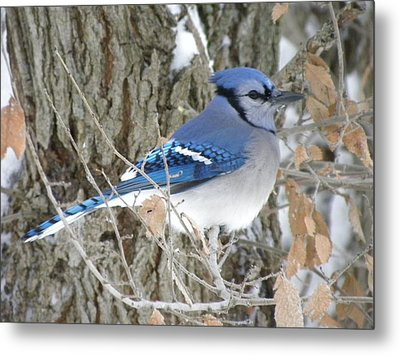 Bluejay Beauty Metal Print by Peggy  McDonald