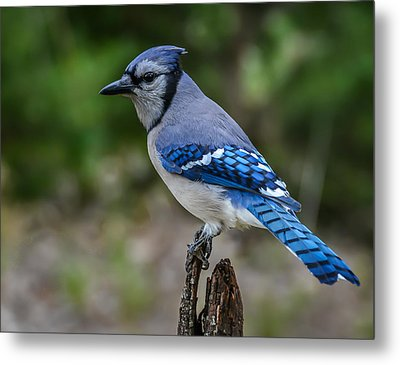 Bluejay Metal Print by Larry Pacey
