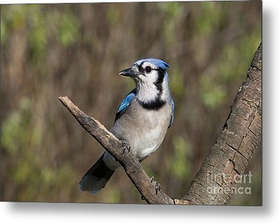 Bluejay Metal Print by Linda Freshwaters Arndt