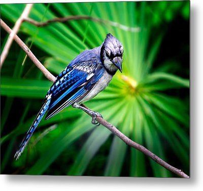Thoughtful Bluejay Metal Print by Mark Andrew Thomas
