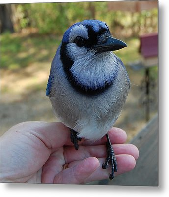 Metal Print featuring the photograph Bluejay by Mim White