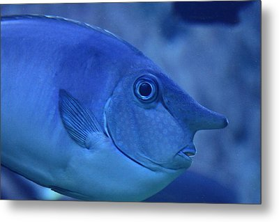 Bluespine Unicorn Fish Metal Print by Karon Melillo DeVega