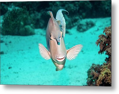 Bluespine Unicornfish By A Reef Metal Print by Georgette Douwma