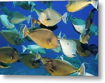 Bluespine Unicornfish Over A Reef Metal Print by Georgette Douwma
