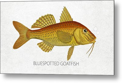 Bluespotted Goatfish Metal Print by Aged Pixel