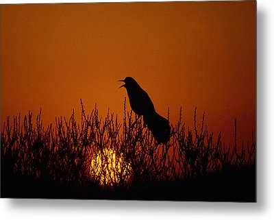 Boat-tailed Grackle Cassidix Mexicanus Metal Print by Panoramic Images