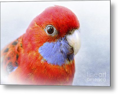 Bobby The Crimson Rosella Metal Print by Terri Waters