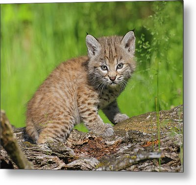 Bobcat Kitten  Felis Rufus  On Log Metal Print