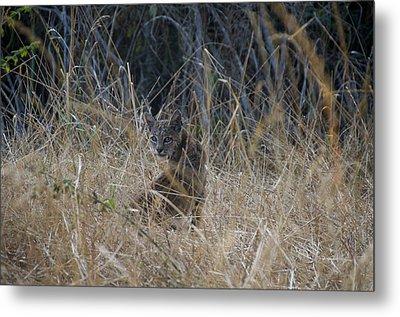 Bobcat Kitten In The Underbrush Metal Print by Scott Lenhart