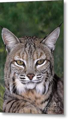Bobcat Portrait Wildlife Rescue Metal Print