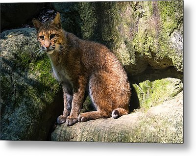 Bobcat Resting On Rocks Metal Print by Chris Flees